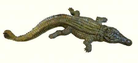 Crocodile du Nil – D. Colcombet